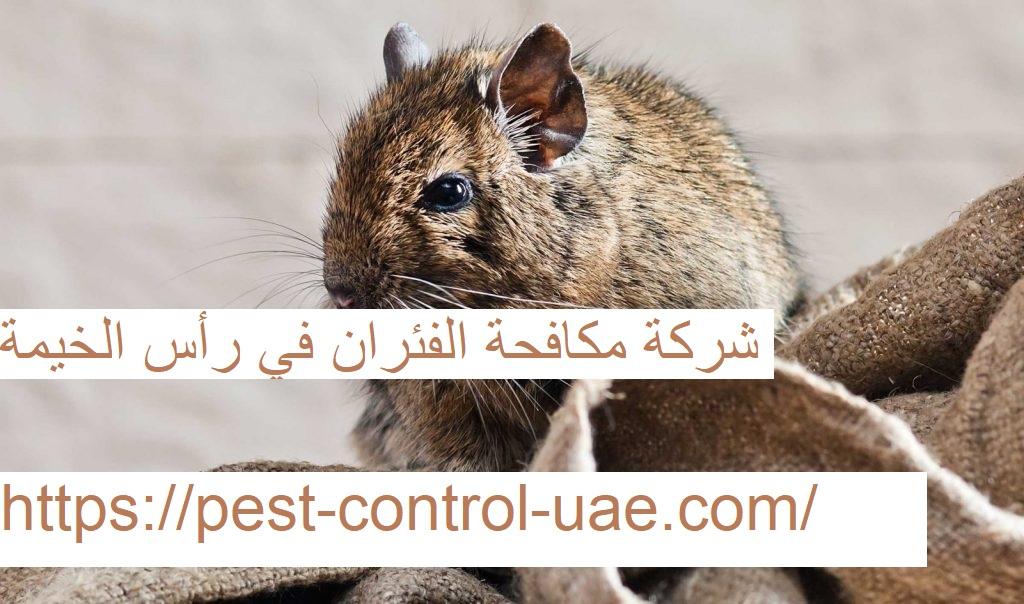 شركة مكافحة الفئران في رأس الخيمة