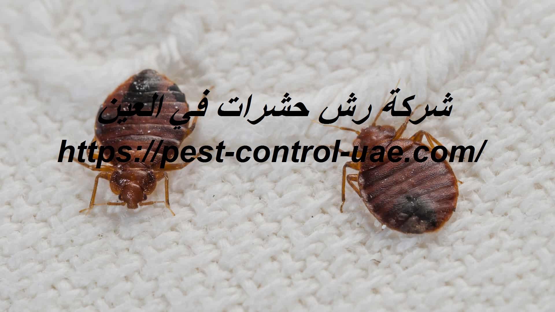 شركة رش حشرات في العين